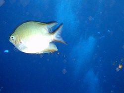 Египет, Рыбы Красного моря.  Рыба-ласточка.